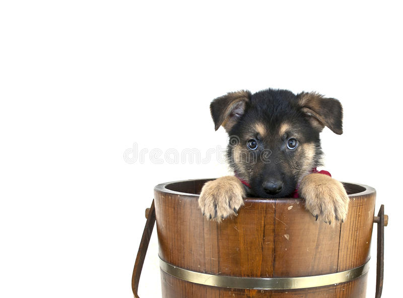 Peek A Boo Puppy. Shepherd puppy that looks like he is playing peek a boo in an old bucket on a white background with copy space royalty free stock image