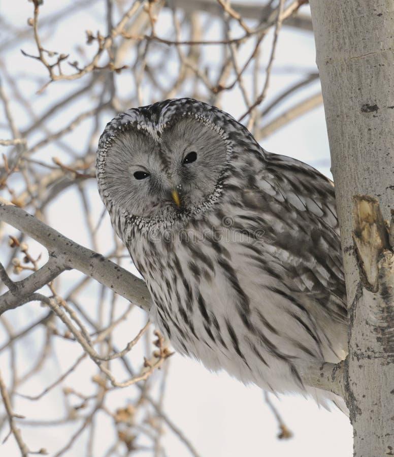 Peek-a-Boo Ural Owl Royalty Free Stock Photo
