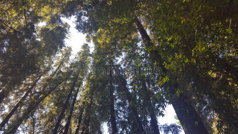 A Peek at the sky through the Redwood forest stock photo