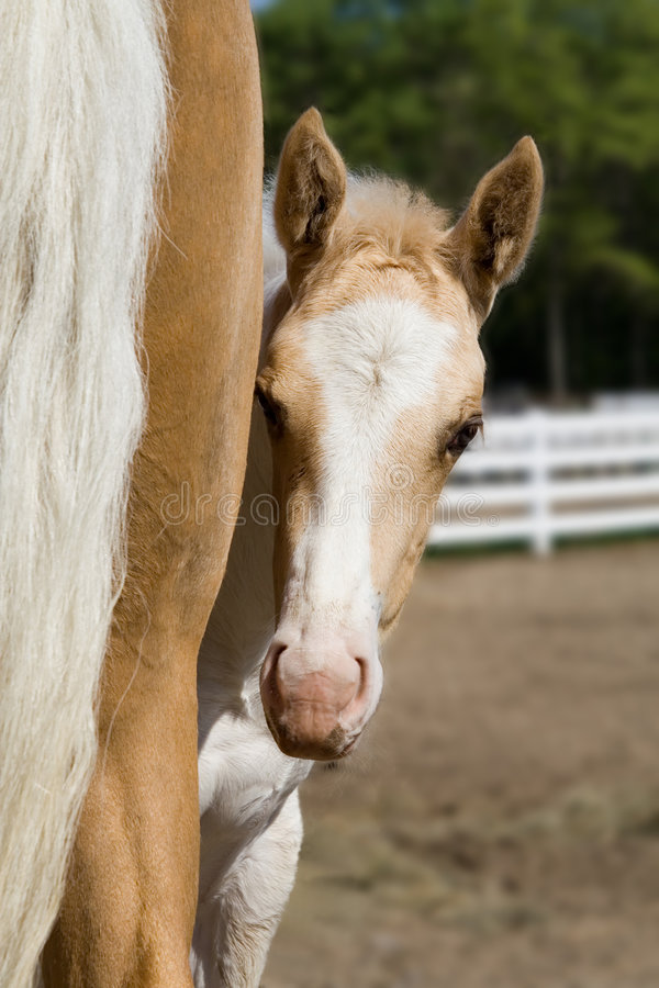Download PeekABoo stock image. Image of horse, colt, filly, fence - 1183989