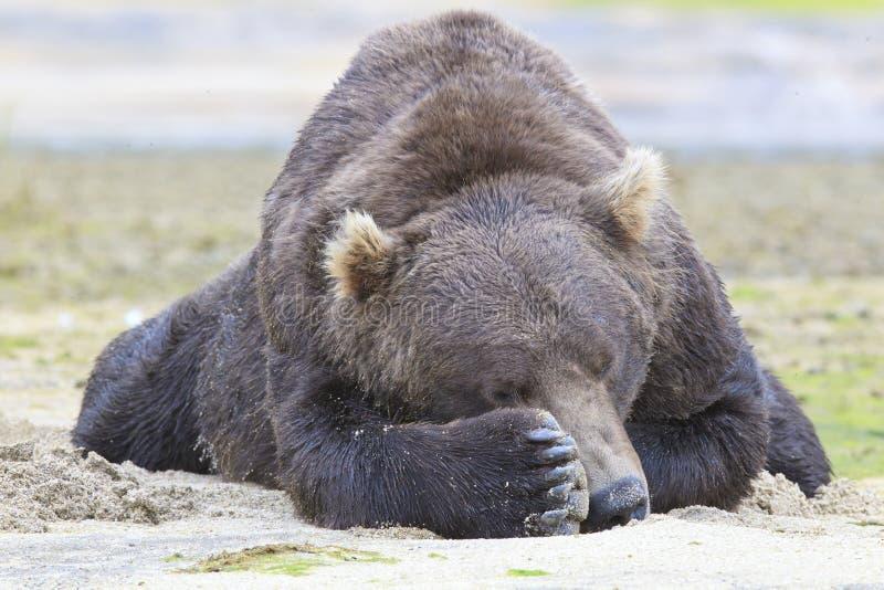 Peekaboo vom großen Braunbären lizenzfreie stockbilder