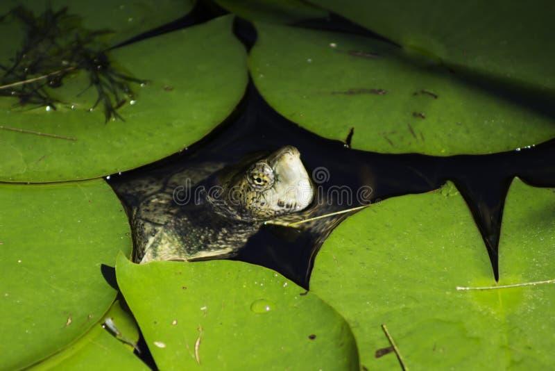 peeking черепаха стоковое фото rf