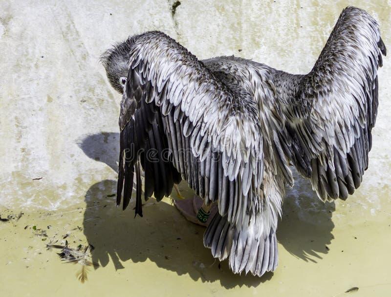 Peeking pelican stock photography