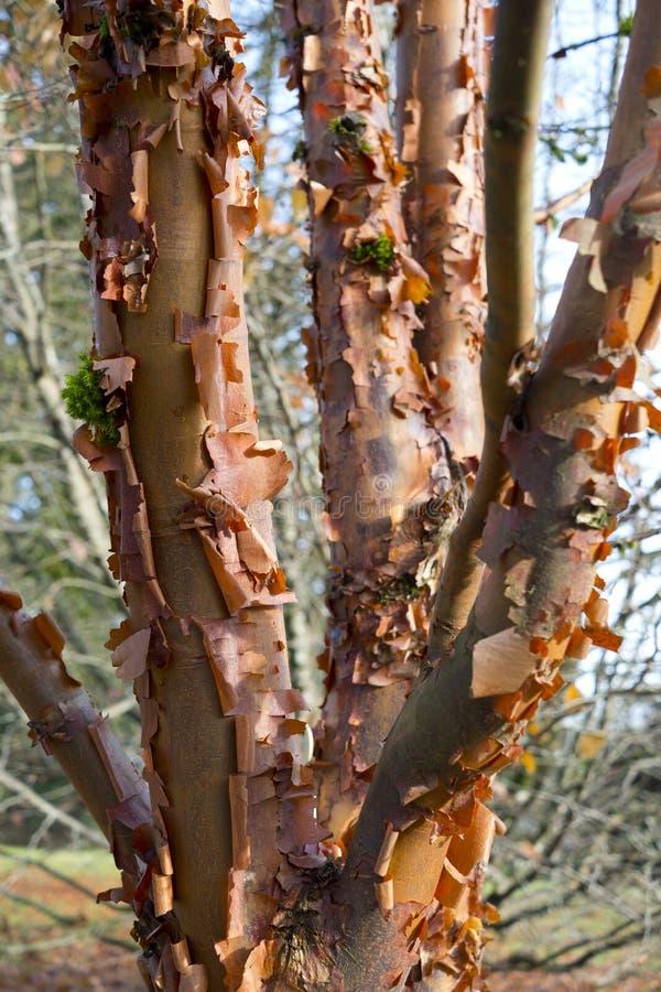 Colorful peeling bark on Himalayan birch royalty free stock photo