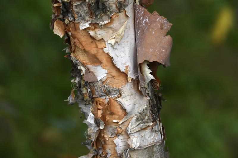 Peeling Bark on a White Birch Tree on a green background royalty free stock photos
