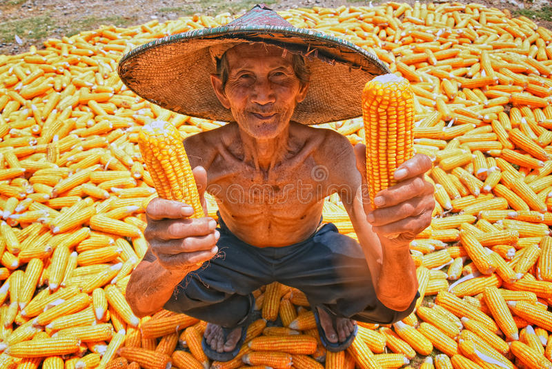 PEELING CORN. Farmer on the porch of his house located in the village Nglonggong, District Teak, Blora, September 30, 2015, Harvest of corn decreased due to a stock photos
