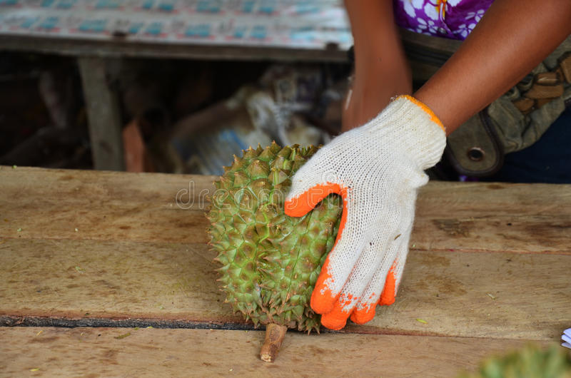 Peeling durian. The durian is the fruit of several tree species belonging to the genus Durio and the family Malvaceae (although some taxonomists place Durio in a royalty free stock photo