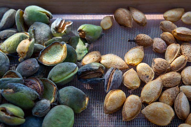 Peeling fresh almonds on an outdoor table in a sunny summer day. Home grown bio  food, farm life, country life. Peeling fresh almonds on an outdoor table in a stock photos