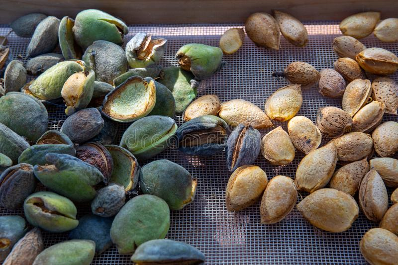 Peeling fresh almonds on an outdoor table in a sunny summer day. Home grown bio  food, farm life, country life. Peeling fresh almonds on an outdoor table in a royalty free stock photos