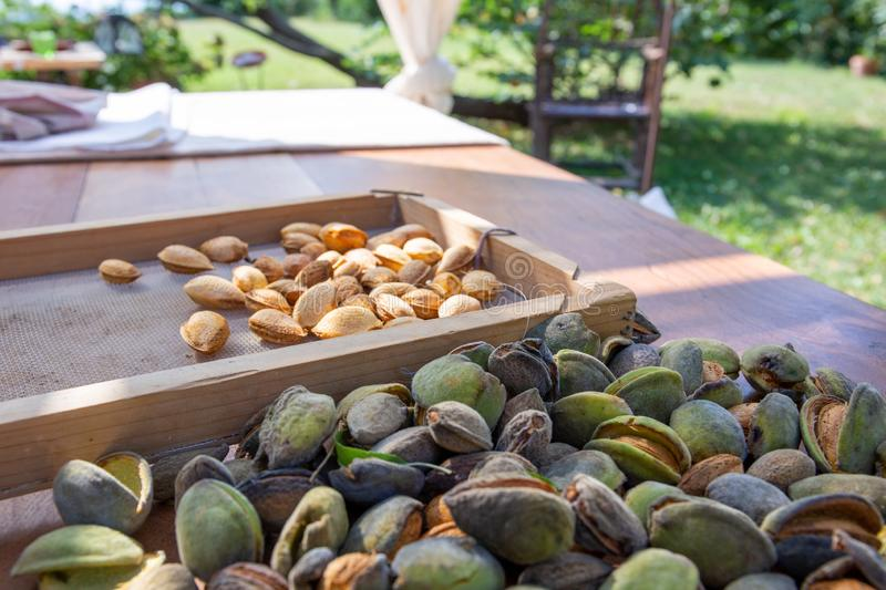 Peeling fresh almonds on an outdoor table in a sunny summer day. Home grown bio  food, farm life, country life. Peeling fresh almonds on an outdoor table in a royalty free stock image