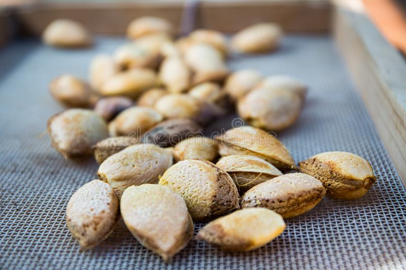Peeling fresh almonds on an outdoor table in a sunny summer day. Home grown bio  food, farm life, country life. Peeling fresh almonds on an outdoor table in a royalty free stock photography