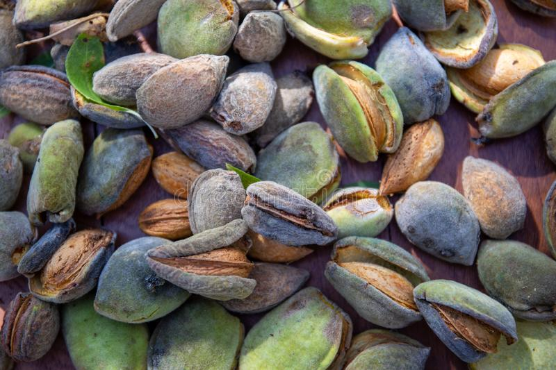 Peeling fresh almonds on an outdoor table in a sunny summer day. Home grown bio  food, farm life, country life. Peeling fresh almonds on an outdoor table in a stock image