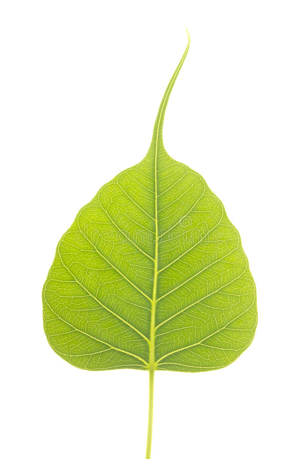 Peepal Leaf stock photography