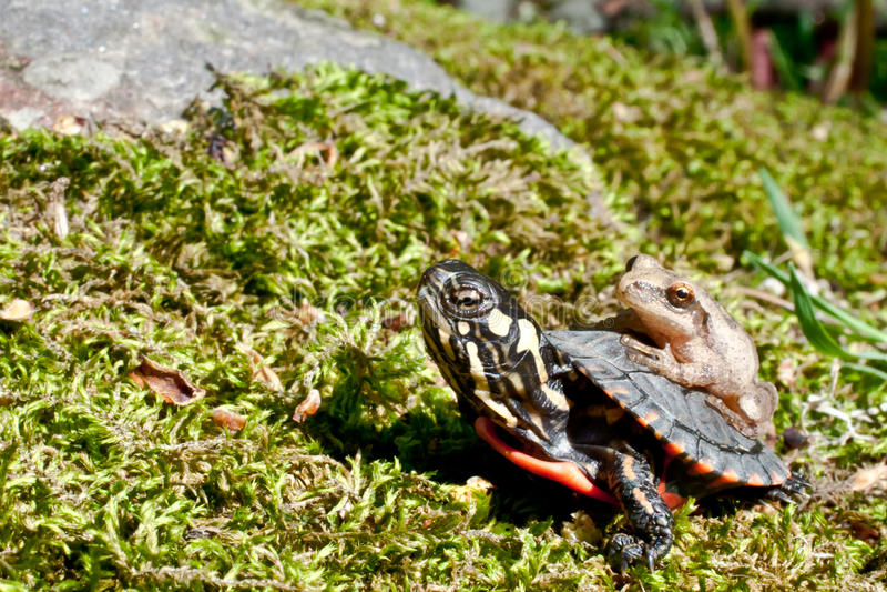 Peeper pintado oriental da tartaruga e de mola imagens de stock