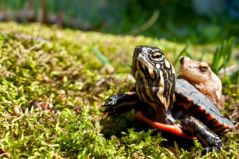 Peeper pintado oriental da tartaruga e de mola imagens de stock royalty free