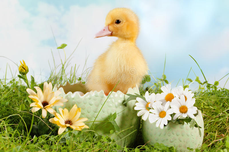 Peeping easter duckling. Peeping newborn easter duckling in a daisy garden royalty free stock images