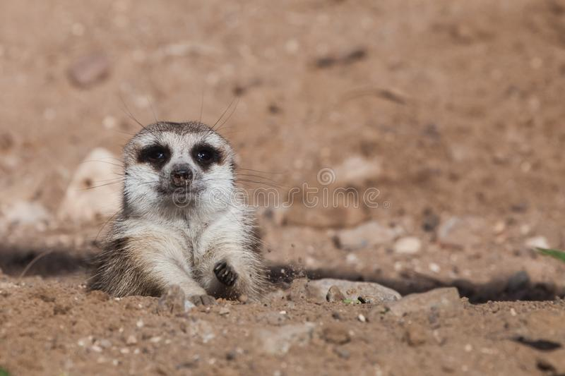 Peeps out of trench shelter A watchful  peppy meerkat Timon on a sandy desert background is watching closely. Peeps out of trench shelter A watchful and peppy stock photography