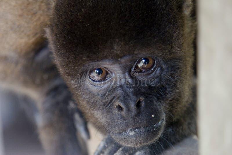 peering обезьяны шерстистый стоковое фото rf