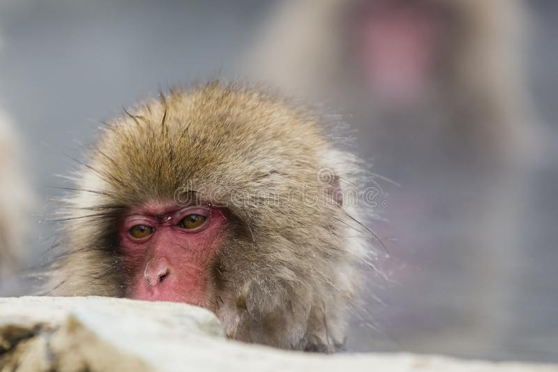 Young Snow Monkey Face. Peering over the rocks, the head of a young, pink faced , fuzzy brown snow monkey in the water show contemplation in the brown eyes stock images
