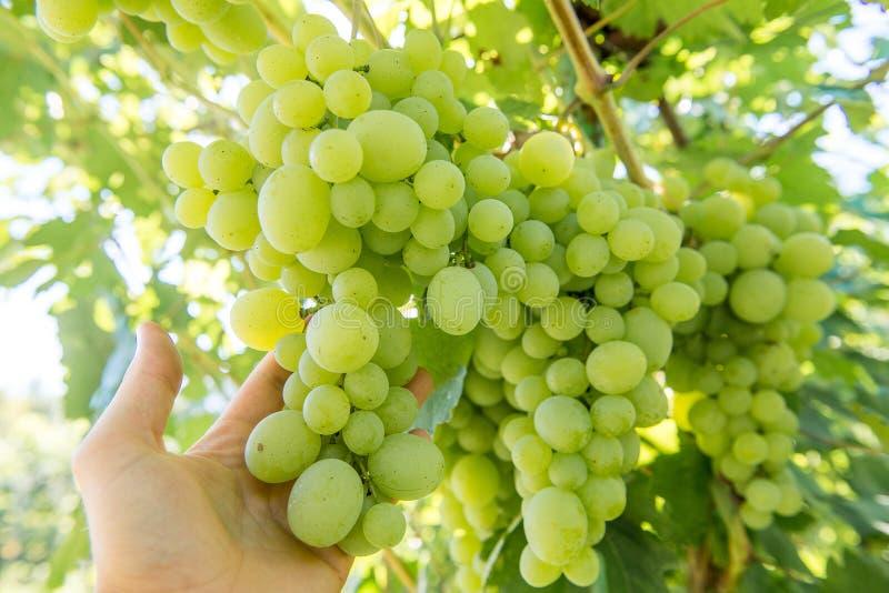 Pega uvas Um monte de uvas verdes amadurece na vinha no verão foto de stock royalty free