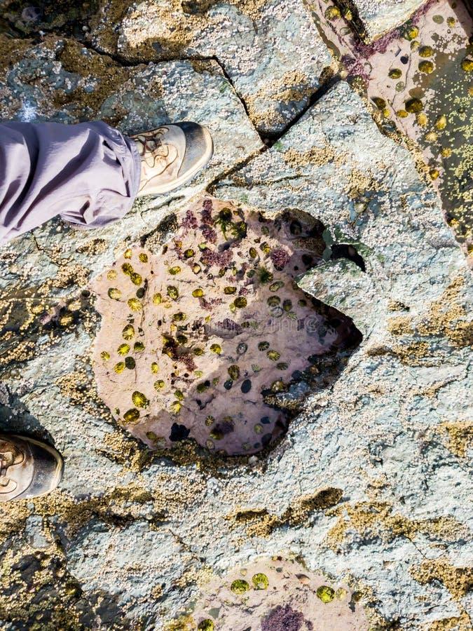 A pegada rara do dinossauro do tracksite sauropod-dominado do nam Brathairean de Rubha, irmãos aponta - a ilha de Skye fotos de stock royalty free