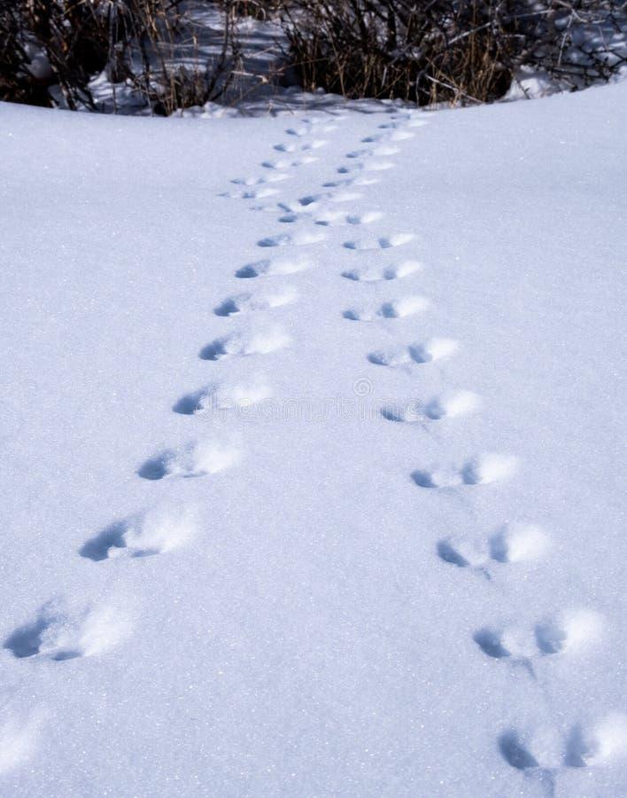 Pegadas animais na neve fotografia de stock royalty free