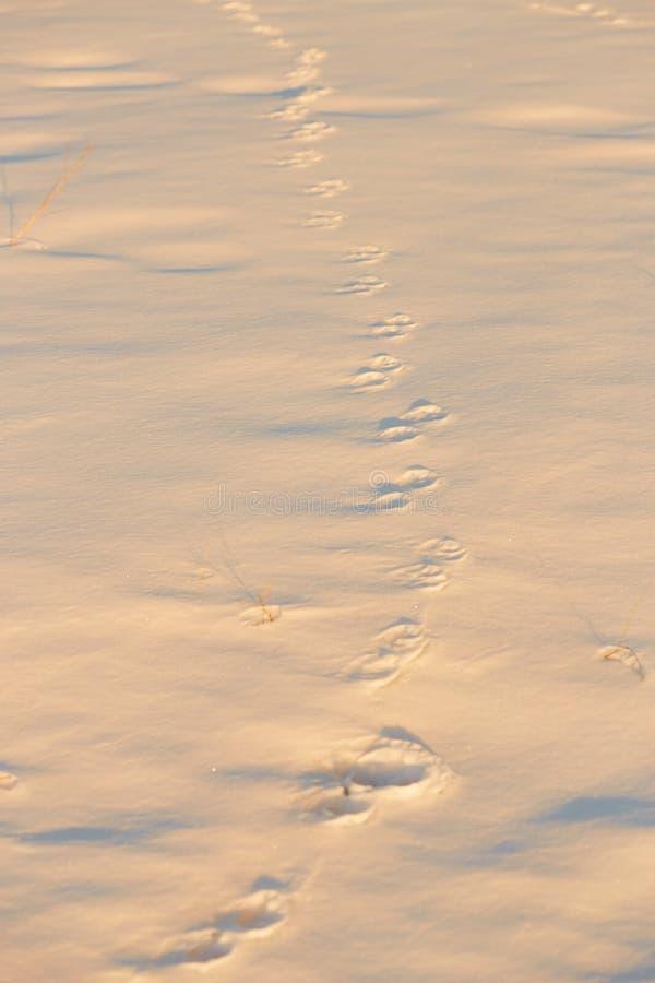Pegadas na neve na hora dourada fotografia de stock royalty free