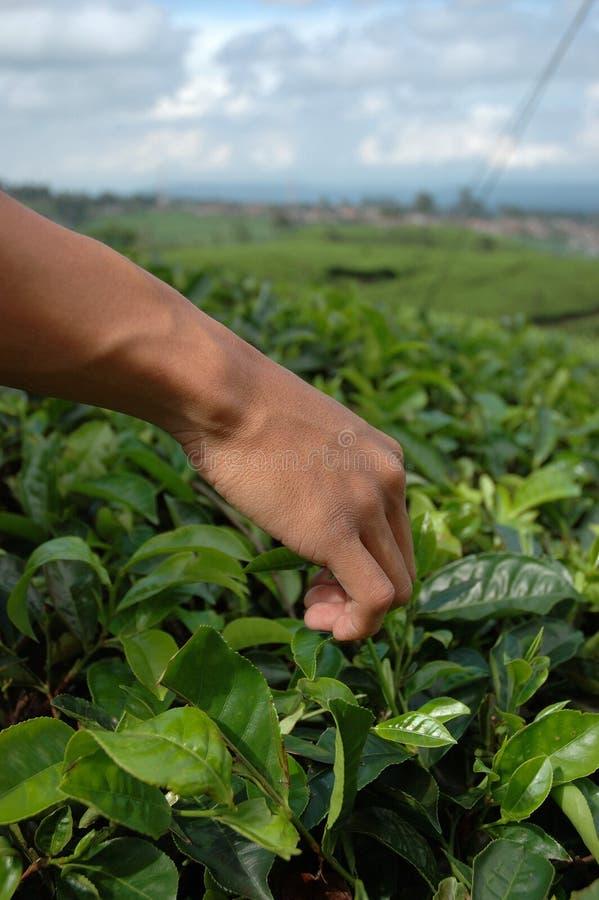 Pegarando o chá verde fotos de stock