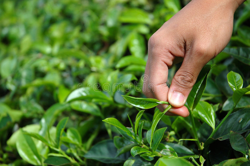 Pegarando o chá verde fotografia de stock