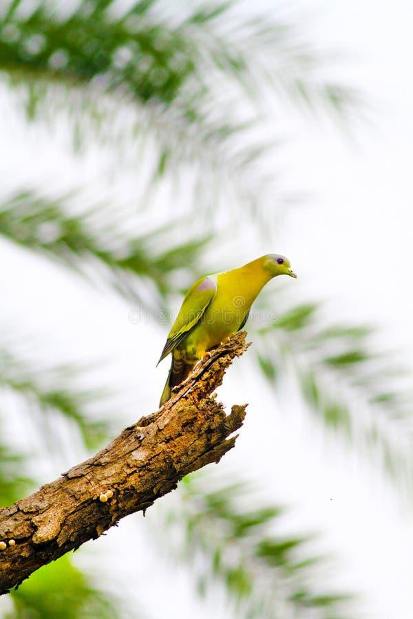 Pegion verde footed amarillo imagenes de archivo