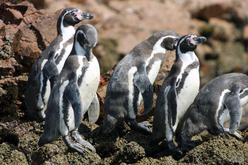 Peguins i Paracus Peru arkivbild