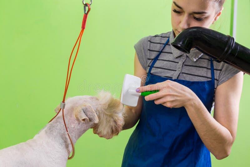 Peignée de la brosse de cheveux sur le visage du ` s de chien photo libre de droits