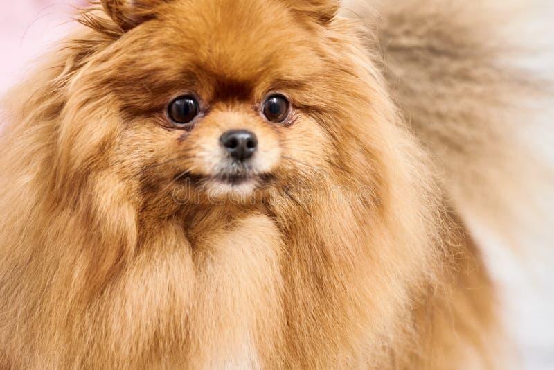 Peinar el perro de Pomerania pomeranian foto de archivo libre de regalías