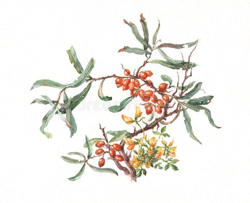 peinture d'aquarelle de Mer-nerprun illustration stock