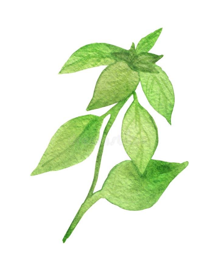 Peinture d'aquarelle du vert Basil d'usine Assaisonnement parfumé, d'isolement sur le fond blanc, pour la belle conception, avec  illustration libre de droits