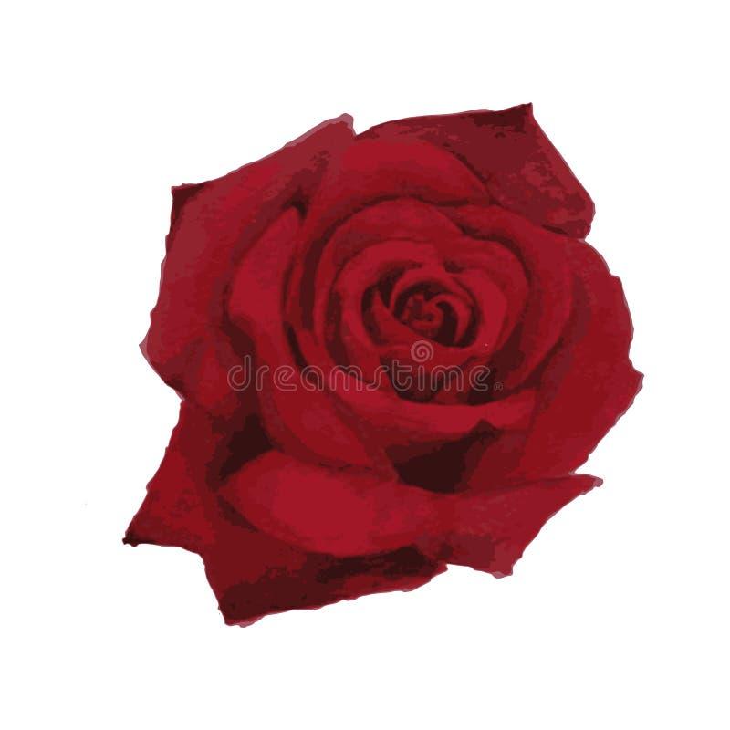 Peinture naturaliste d'aquarelle d'une rose rouge de floraison - illustration de vecteur illustration libre de droits
