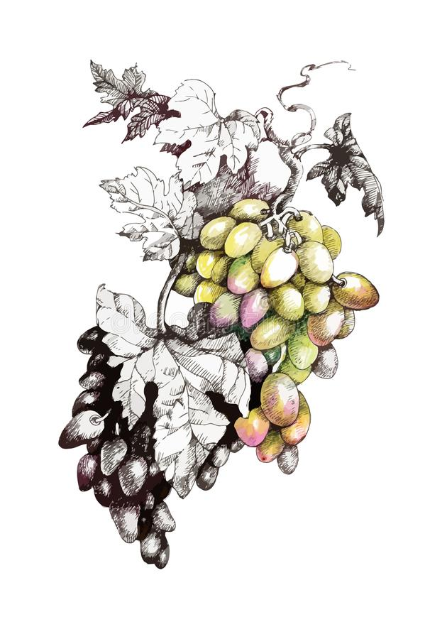 Peinture tirée par la main avec les groupes colorés de raisins et de feuilles sur le fond blanc illustration de vecteur