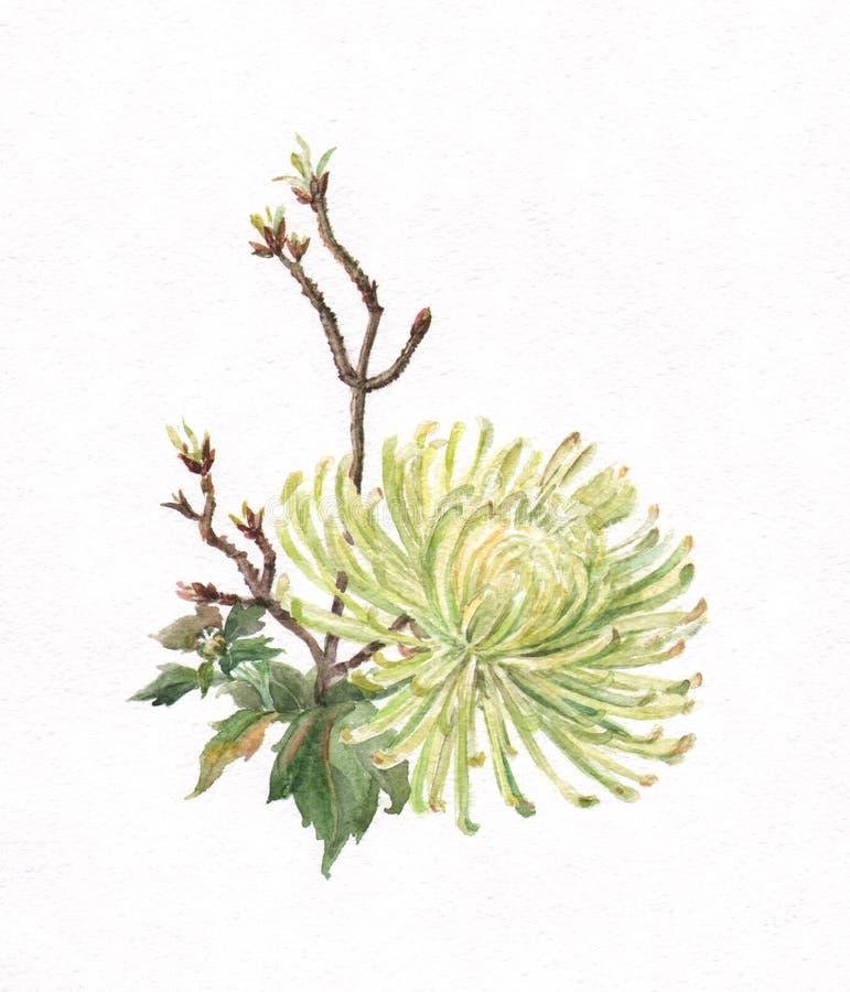 Peinture verte d'aquarelle de chrysanthemum illustration libre de droits