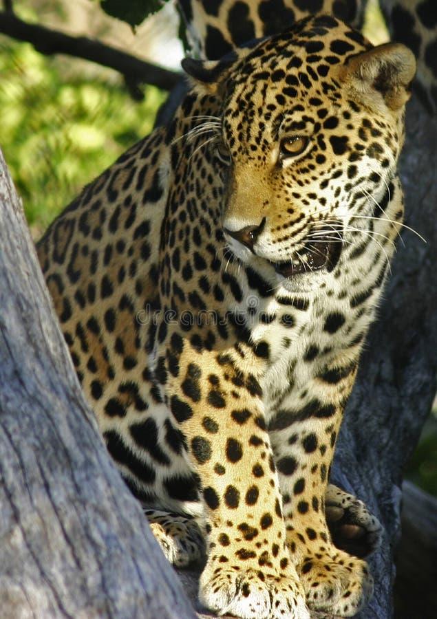 Peinzende Jaguar royalty-vrije stock fotografie