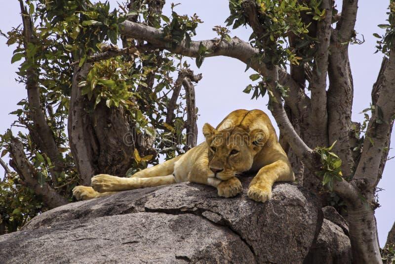 Peinzende Leeuwin in het Nationale Park van Serengeti stock foto