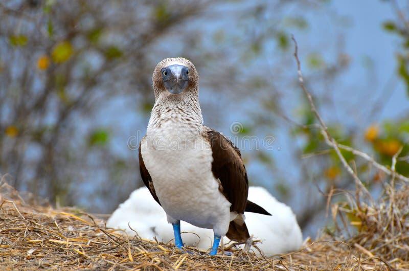 Peito footed azul em Isla de la Plata, Equador imagens de stock royalty free
