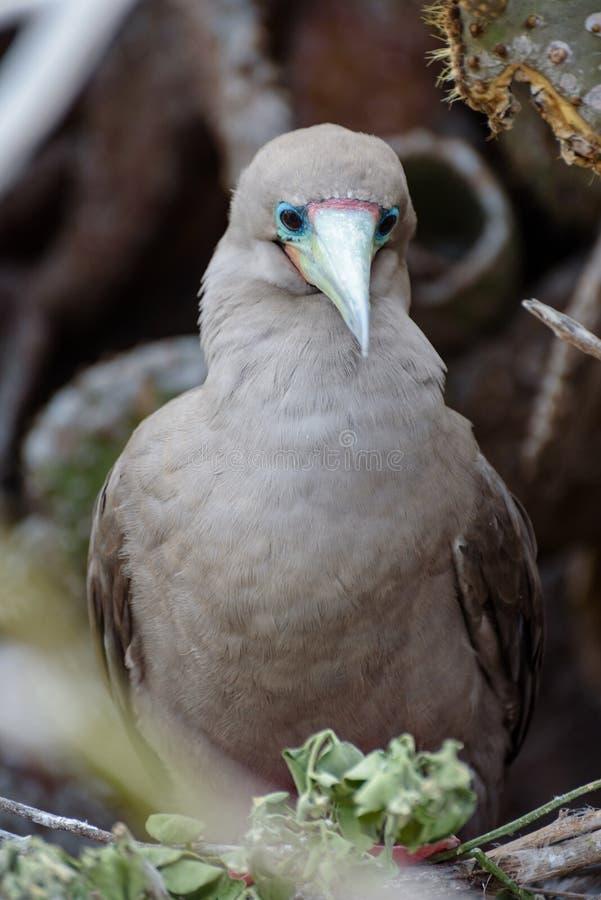 Peito footed vermelho Sula Sula, Darwin Bay, Genovesa, ilha de Galápagos, Equador, Ámérica do Sul imagem de stock royalty free