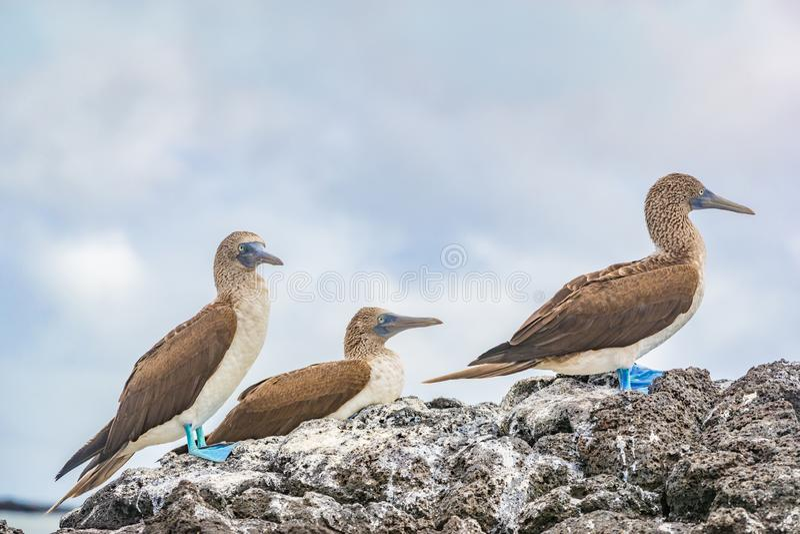 peitos Azul-footed - animais selvagens famosos icônicos de Galápagos o peito footed azul fotos de stock royalty free