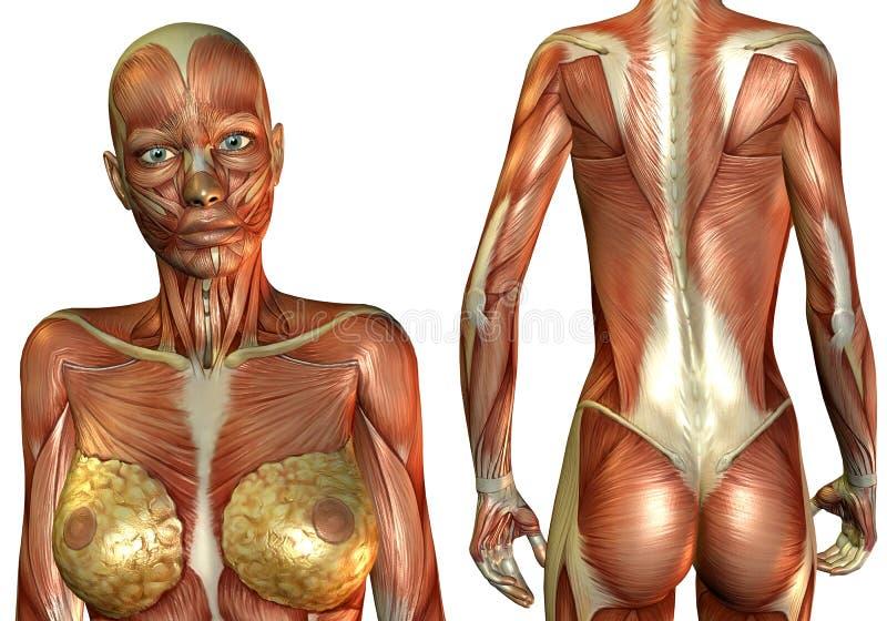 Peitos e músculo traseiro ilustração do vetor