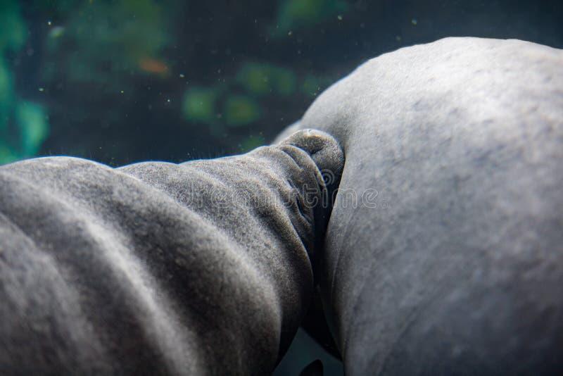 Peixe-boi recém-nascido do bebê e retrato ascendente próximo da mãe fotos de stock