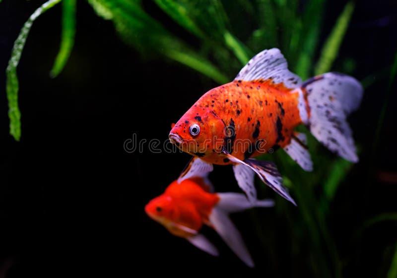 Peixe dourado (auratus do auratus do Carassius) imagens de stock royalty free