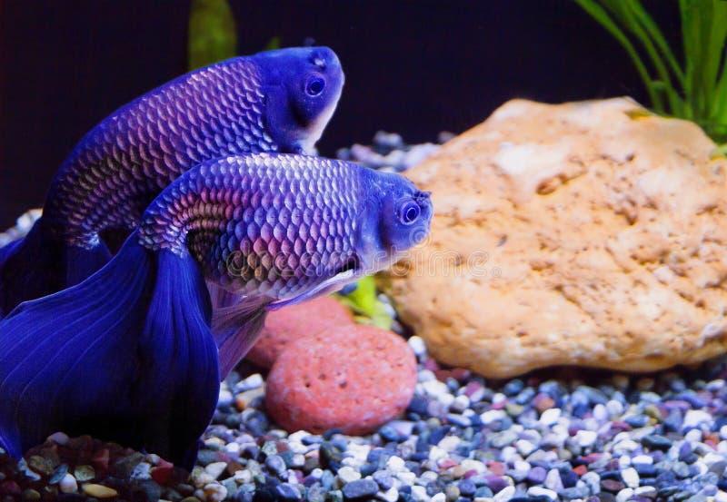 Peixe dourado azul foto de stock