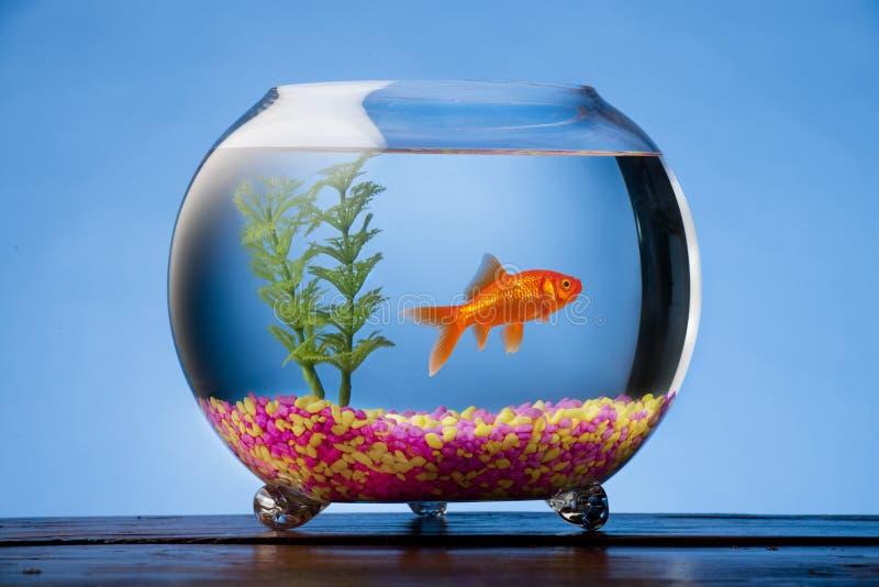 Peixe dourado em uma bacia foto de stock royalty free