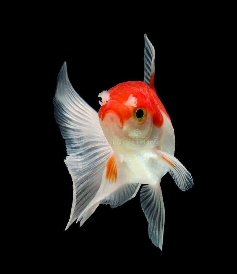 Peixe dourado isolado no fundo preto imagem de stock