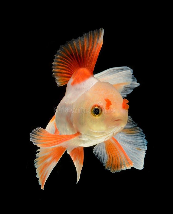 Peixe dourado isolado no fundo preto foto de stock royalty free